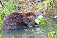 North American Beaver  Castor canadensis  Order Rodentia Suborder Sciuromorpha Family : Castoridae.