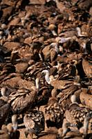 Griffon vulture Gyps fulvus Beceite Ports. Valderrobres. Teruel. Spain