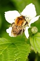 Common Carder Bee Bombus pascuorum  on white bramble flower, England, UK
