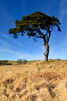 Lone pine in the winter sun by the Priddy Pools on the Mendip Hills, Somerset