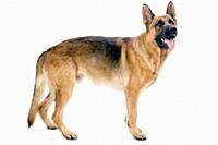 Profile portrait of the entire body of a German shepherd dog