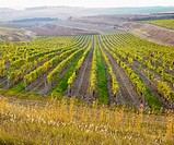 vineyard Ulehle, Livi Dubnany, Czech Republic