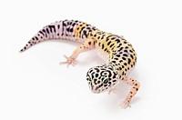 Juvenile Leopard Gecko Eublepharis Macularius