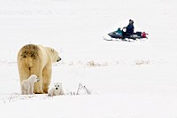 Polar Bear Sow Guarding And Looking Out For Her Cubs As She Watches A Man On A Snowmobile Sled In Wapusk National Park, Churchill, Manitoba, Canada