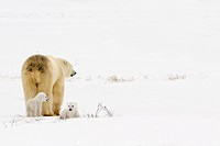Polar Bear Sow With Her Cubs In Wapusk National Park, Churchill, Manitoba, Canada