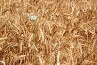 wheat field in willamette valley, oregon, united states of america
