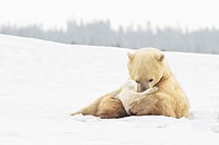 polar bear sow ursus maritimus holds her young cub tenderly in her paws at wapusk national park, churchill, manitoba, canada