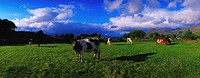 Holstein_Friesian Cattle Grazing In Irish Field