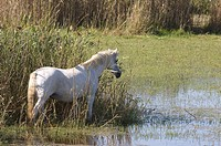 Wild Horse of Camargue - France