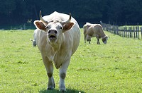 Cow, cattle, France