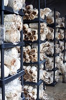Racks of oyster mushrooms
