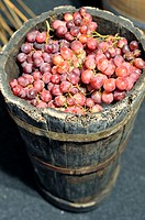 An old wooden barrel containing fresh picked grapes