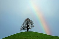 Limetree, linden tree Tilia on a moraine hill with a rainbow, Hirzel, Switzerland, Europe
