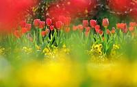 Tulips (Tulipa)