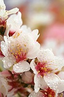 Droplets on almond tree flowers Prunus amygdalus or communis