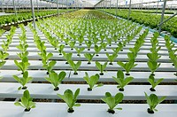 Hydroponic Lettuce in a greenhouse