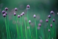 Wild chive, Manitoulin Island, Ontario, Canada