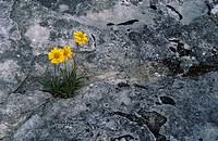 Lakeside daisy near rocks, Manitoulin Island, Ontario, Canada