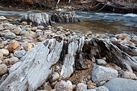 Decaying tree stumps along the Swift River in the White Mountains, New Hampshire USA  This area was logged during the Swift River Railroad era, which ...