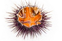 Sea urchin, close-up