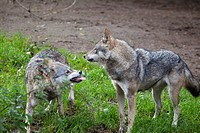 Wolves (Canis lupus), submissive gestures, behavior, Europe