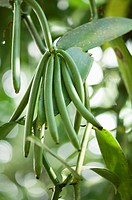 Vanilla pods on the tree