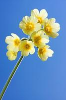 Oxlip, Tall Cowslip, True oxlip, Paigle (Primula elatior)