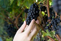 Mid adult woman in vineyard with vines and black grapes