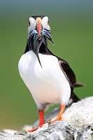 Atlantic Puffin (Fratercula arctica), Farne Islands, England
