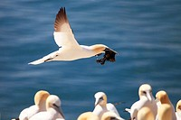 Northern Gannet (Sula bassana or Morus bassanus) in flight, Bass Rock, Scotland