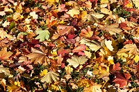 Colourful autumnal foliage