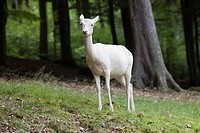 Fallow Deer Dama dama, female, albino, Daun Deer Park, Eifel, Rhineland_Palatinate, Germany, Europe