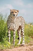 cheetah _ standing / Acinonyx jubatus