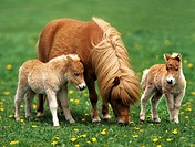 Mini_Shetlandpony _ mare and foal on meadow