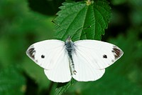 Cabbage white butterfly on leaf