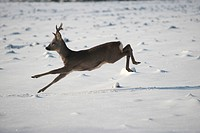 Roe deer (Capreolus capreolus) jumping in snow, Allgaeu, Bavaria, Germany, Europe