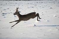Roe deer (Capreolus capreolus) jumping in snow, Allgaeu, Bavaria, Germany, Europe