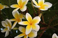 Frangipani (Plumeria), white and yellow, flowers on Karpathos island, Aegean Islands, Aegean Sea, Greece, Europe