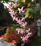 Orchid flowers, Bethsaida Hermitage, Kerala, India, Asia