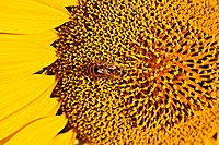 bee on sunflower. Macro