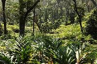 Cardamom plantation, Cardamom Hills, Western Ghats, Kerala, India, South Asia, Asia