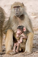 Baboon Monkey (Papio cynocephalus) with infant, Hwange National Park, Zimbabwe, Africa