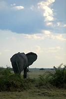 African elephant (Loxodonta africana), Okavango Delta, Botswana, Africa