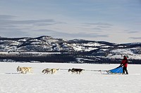 Man, musher running, driving a dog sled, team of sled dogs, Alaskan Huskies, mountains behind, frozen Lake Laberge, Yukon Territory, Canada