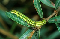 Marbled Clover (Heliothis viriplaca), caterpillar
