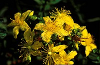 St. John's Wort Hypericum sp ||medicinal plant Germany