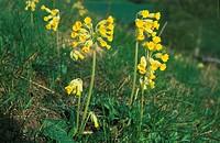 Cowslip Primula veris Sweden