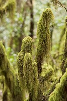 Moss in laurel forest National park Garajonay La Gomera Canary Islands