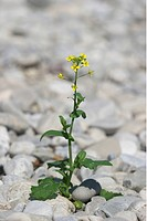 Garden yellowrocket ( Barbarea vulgaris )