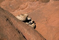 Rattle snake Utah USA